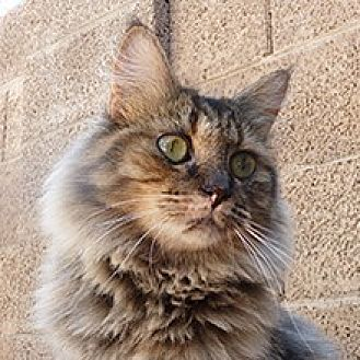 Domestic Longhair Cat for adoption in Phoenix, Arizona - Squirrel