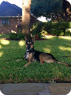 German Shepherd Dog Mix Dog for adoption in Rowlett, Texas - Rocco