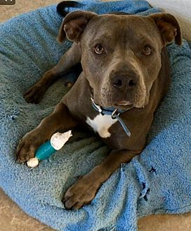American Staffordshire Terrier Mix Dog for adoption in Lancaster, California - Chongo