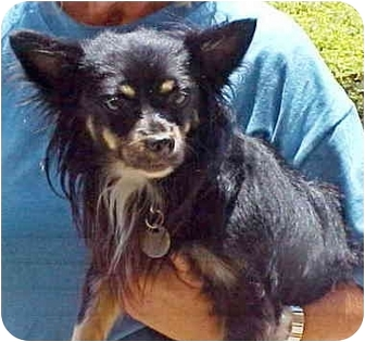 Pomeranian/Papillon Mix Dog for adoption in Spring Valley, California - Bandit
