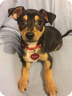 Rat Terrier/Miniature Pinscher Mix Puppy for adoption in Tomball, Texas - Boone & Baylor - SIBLINGS