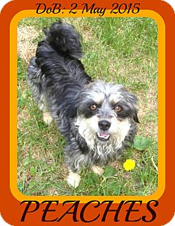 Tibetan Terrier/Schnauzer (Standard) Mix Dog for adoption in Manchester, New Hampshire - PEACHES