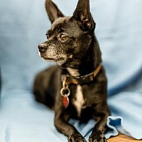 Chihuahua Mix Dog for adoption in Pt. Richmond, California - YAZ