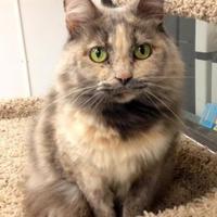 Domestic Longhair/Domestic Shorthair Mix Cat for adoption in Greensboro, North Carolina - Snuggles