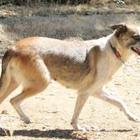 Adopt A Pet :: Lil Momma - Paso Robles, CA