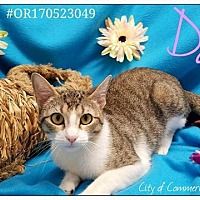 Domestic Shorthair Cat for adoption in Commerce, Texas - Darla