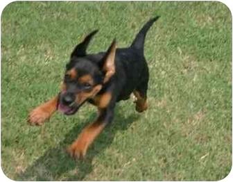 Beagle/Miniature Pinscher Mix Dog for adoption in Muldrow, Oklahoma - Trevor