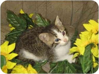 Domestic Shorthair Kitten for adoption in Columbus, Nebraska - Buddy