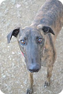 Greyhound Dog for adoption in Chagrin Falls, Ohio - PK (Pain Killer)