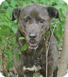 Shepherd (Unknown Type)/Labrador Retriever Mix Dog for adoption in Youngstown, Ohio - Mazie - FULL SPONSOR