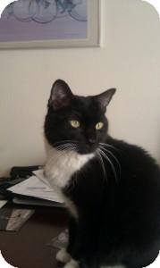Domestic Shorthair Cat for adoption in Medford, Massachusetts - MooMoo