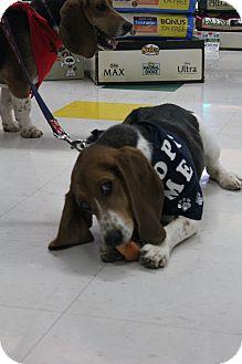 Beagle/Basset Hound Mix Dog for adoption in Grand Rapids, Michigan - Bella