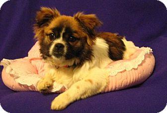 Shih Tzu/Pug Mix Puppy for adoption in Easton, Illinois - Mia