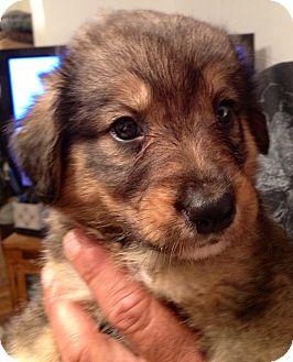Australian Shepherd/Sheltie, Shetland Sheepdog Mix Puppy for adoption in waterbury, Connecticut - Edgar