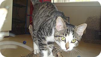 Domestic Shorthair Kitten for adoption in Marshall, Texas - Olivia