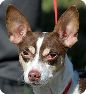 Chihuahua Mix Dog for adoption in New Haven, Connecticut - PINTA
