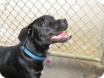 Boxer/Labrador Retriever Mix Dog for adoption in Henderson, North Carolina - Daisy