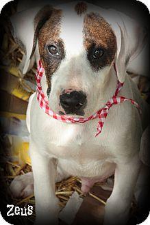 Great Dane/American Bulldog Mix Puppy for adoption in Cranford, New Jersey - Zeus