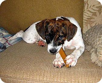 English Pointer/Labrador Retriever Mix Puppy for adoption in New Smyrna beach, Florida - Anna