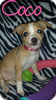 Chihuahua Mix Puppy for adoption in Walker, Louisiana - Coco