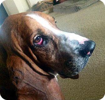 Basset Hound Dog for adoption in Grapevine, Texas - Chester