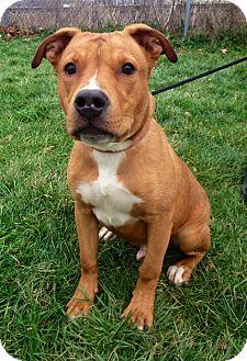 Boxer/Beagle Mix Dog for adoption in Avon, Ohio - Rogan