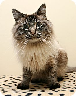 Ragdoll Cat for adoption in Bellingham, Washington - Ronnie