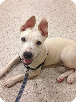 American Staffordshire Terrier Mix Dog for adoption in Seattle, Washington - Zayn