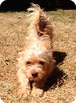 Norwich Terrier/Chihuahua Mix Dog for adoption in Portland, Oregon - Wendell