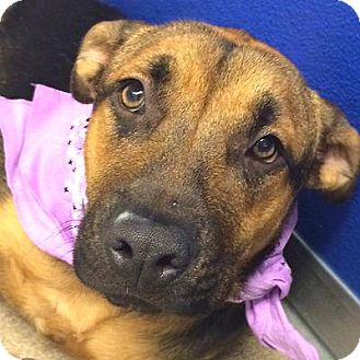 Shepherd (Unknown Type)/Shar Pei Mix Dog for adoption in Denver, Colorado - Kelley