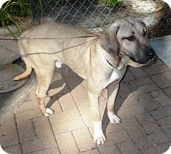 Black Mouth Cur/Hound (Unknown Type) Mix Dog for adoption in Eastpoint, Florida - Gus