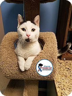Domestic Shorthair Cat for adoption in Glen Mills, Pennsylvania - Pickles