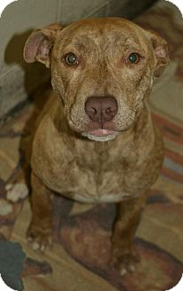 Plott Hound/Pit Bull Terrier Mix Dog for adoption in Allendale, New Jersey - RAIN