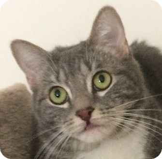 Domestic Shorthair Cat for adoption in Winchester, California - Thumper