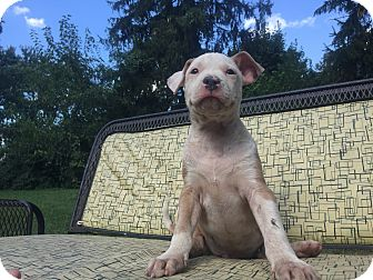 American Pit Bull Terrier/American Staffordshire Terrier Mix Puppy for adoption in Hatfield, Pennsylvania - Drogo