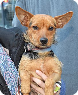 Australian Terrier/Terrier (Unknown Type, Small) Mix Dog for adoption in New York, New York - Leeza