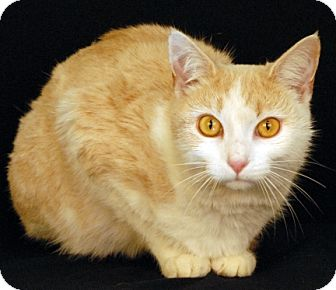 Domestic Shorthair Cat for adoption in Newland, North Carolina - Sweet Potato