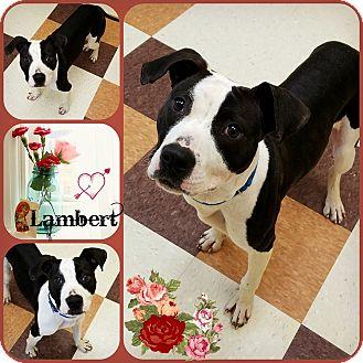 Pit Bull Terrier Mix Dog for adoption in Joliet, Illinois - Lambert