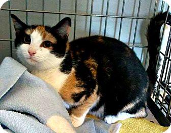 Domestic Shorthair Cat for adoption in Jefferson, North Carolina - Atina