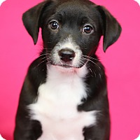Adopt A Pet :: Tia - Minneapolis, MN