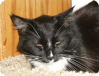 Domestic Mediumhair Cat for adoption in North Highlands, California - Bootsy (declawed)