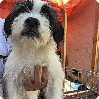 Adopt A Pet :: Babie - LAKEWOOD, CA