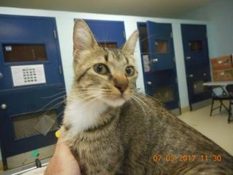 Domestic Shorthair/Domestic Shorthair Mix Cat for adoption in San Angelo, Texas - TCR34 7\5\17