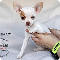 Adopt A Pet :: Cindy Brady - Shawnee Mission, KS