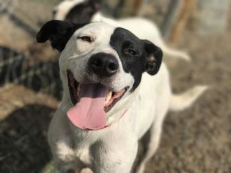 American Pit Bull Terrier Mix Dog for adoption in The Dalles, Oregon - Bear