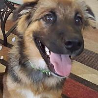 Adopt A Pet :: Braxton - Denver, CO