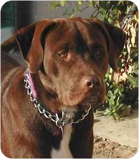 Labrador Retriever Mix Dog for adoption in Rolling Hills Estates, California - Gunner