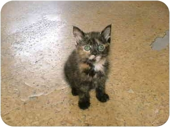 Domestic Shorthair Kitten for adoption in Warren, Ohio - TWIX
