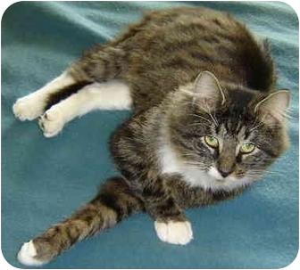 Siberian Cat for adoption in Cincinnati, Ohio - Siberian LEO
