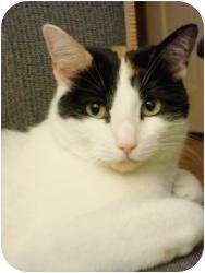 Calico Cat for adoption in Colmar, Pennsylvania - Jules
